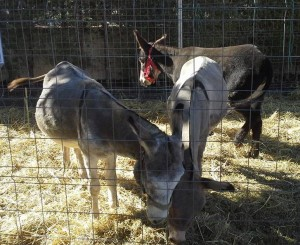 burrosw